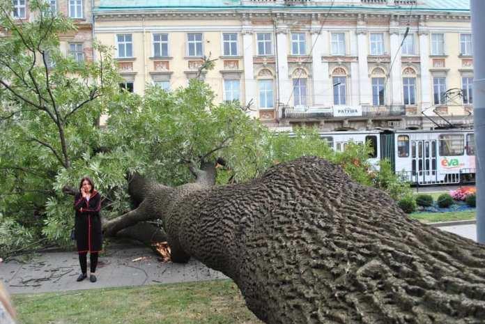 200-річний ясен, що впав у центрі Львова, стане інтерактивним експонатом природничого музею