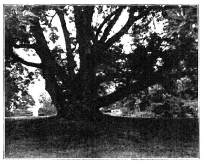 Ясень 350-річний в парку