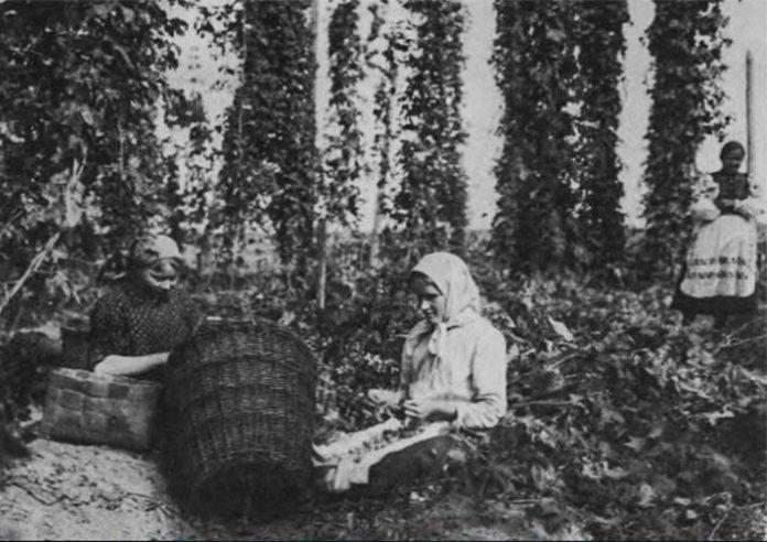 Жінки збирають хміль, Волинь, 1920-ті роки