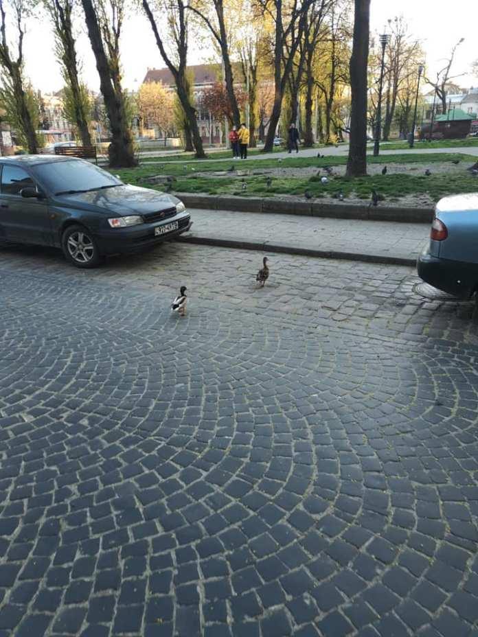 Качки на вулицях Львова