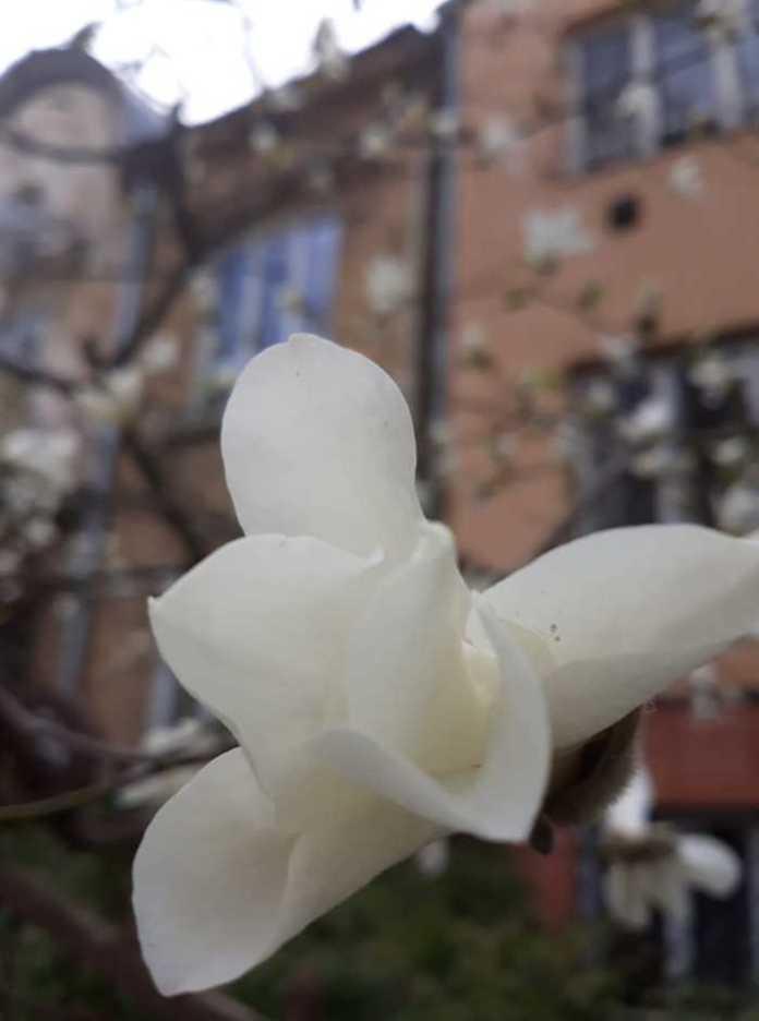 Львівщину вкрив цвіт магнолій. Фото: ФБ/Олена Мельник
