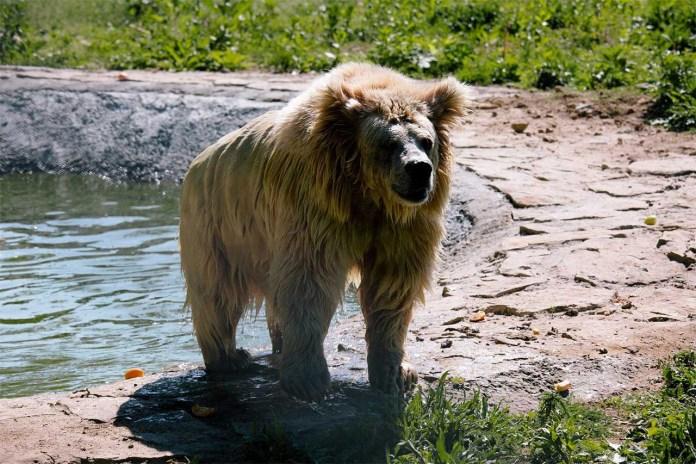 Найстарша ведмедиця Христина у притулку