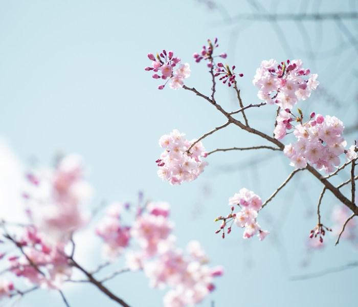 春。桜とゆきやなぎ?