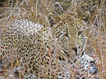 Leopard-Ulusaba-IMAGE-2