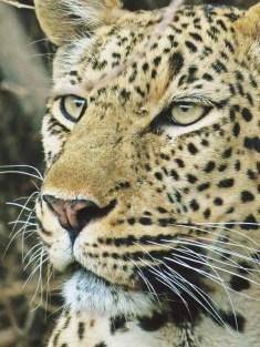 Leopard-Ulusaba-IMAGE