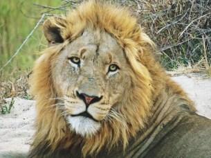 Lion-Ulusaba-IMAGE-3