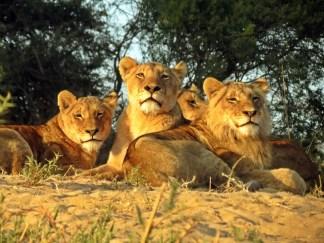 Lions-Ulusaba-IMAGE-2