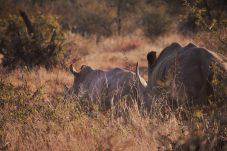 Rhino-Madikwe Game Reserve (8)