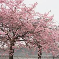 Prydkirsebær
