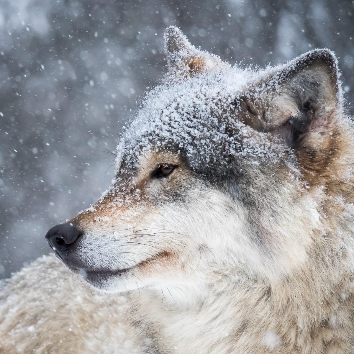 Portrett av ulv