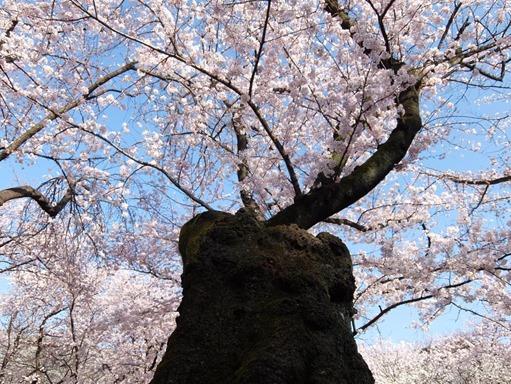 靖国桜[7]