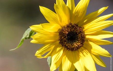 Sonnenblume (Ausschnitt)