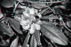 Hummel an Blüte, geblitzt