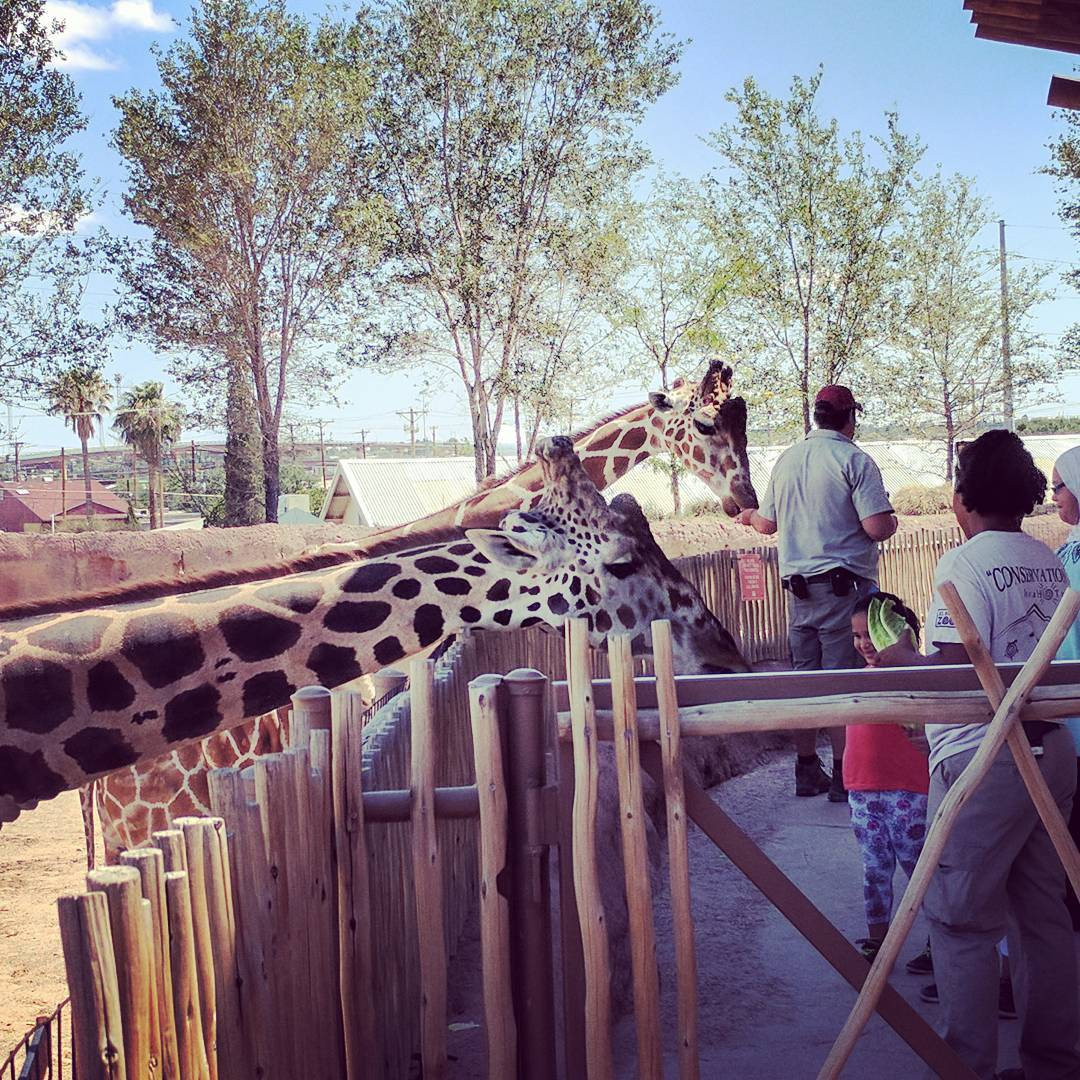 Just hanging out with some giraffes