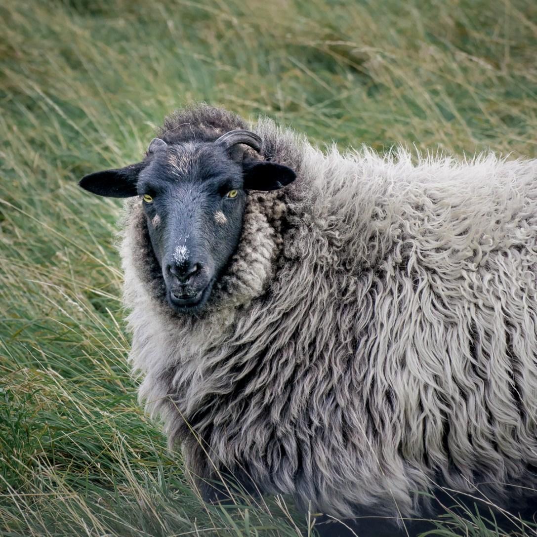 Scottish Sheep Ⅲ
