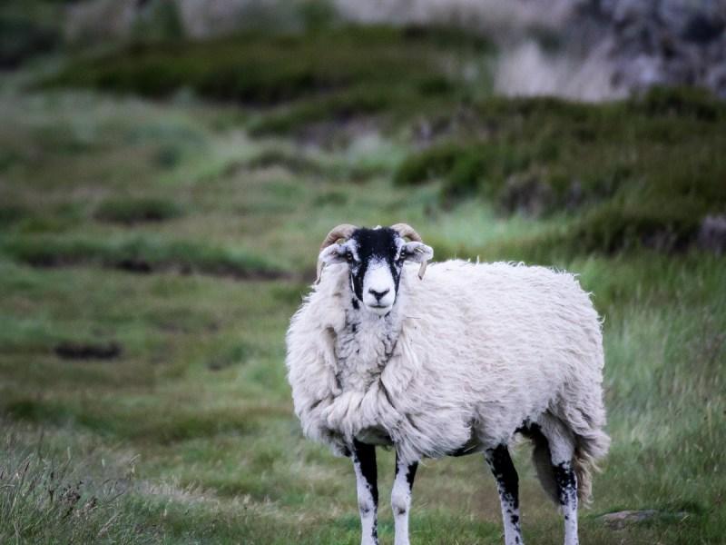 Angy Sheep