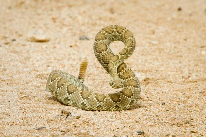 Mojave Green Rattlesnake by Lori Carey