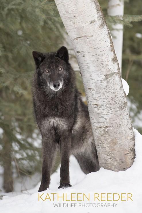 2017-01-21-0702-Majestic-Wolfweb