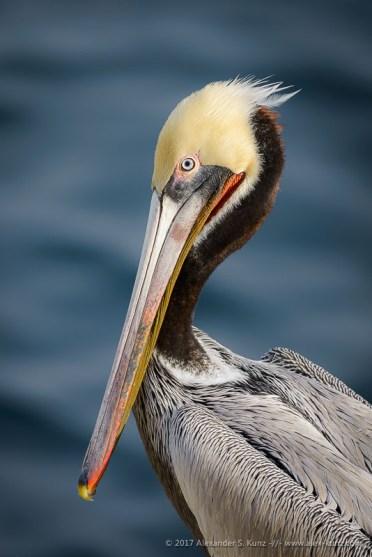 Brown Pelican, by Alexander S. Kunz