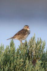 Savannah Sparrow Guerrero Negro