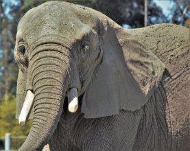 Barbara Whitman - SD Zoo Elephant