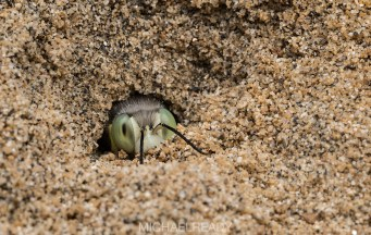 Sand Wasp (Bembix americana), Cabrilla National Monument, San Diego, CA