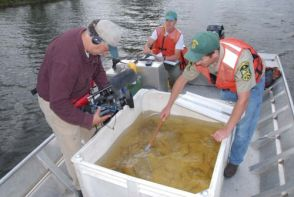 Muskellunge Released Into Missisquoi River in Swanton, Vermont
