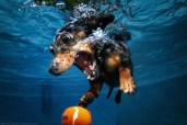 My dog Darky getting the lawn ball underwater :D