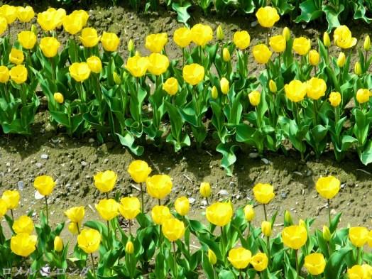 Tulips 011