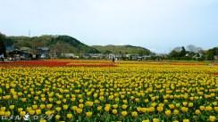Tulips 013