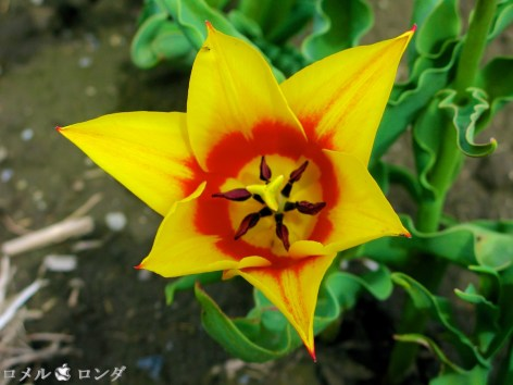 Tulips 026