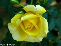 Rose 013