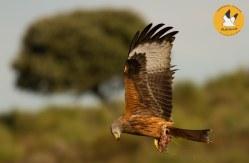 red-kite-14