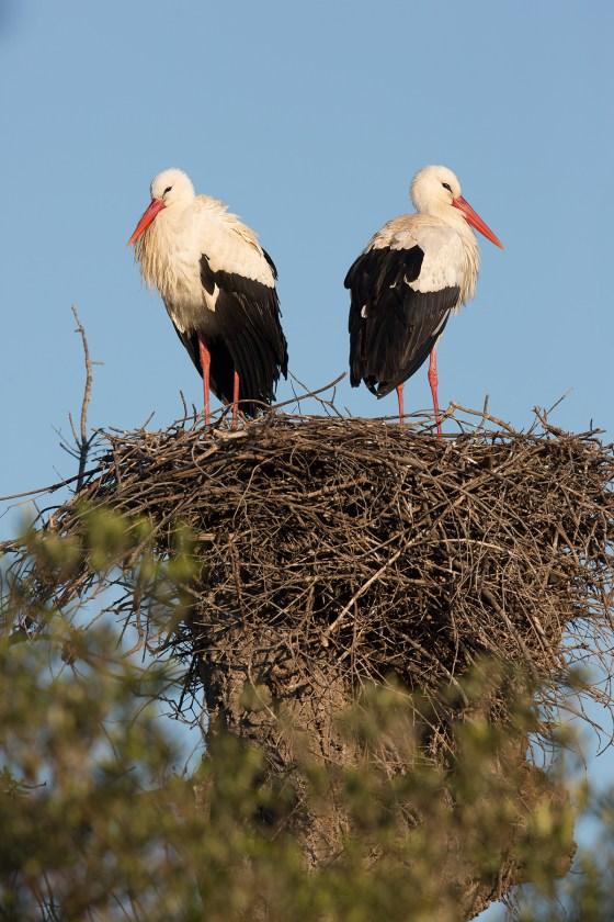 White Stork | vit stork | Ciconia ciconia