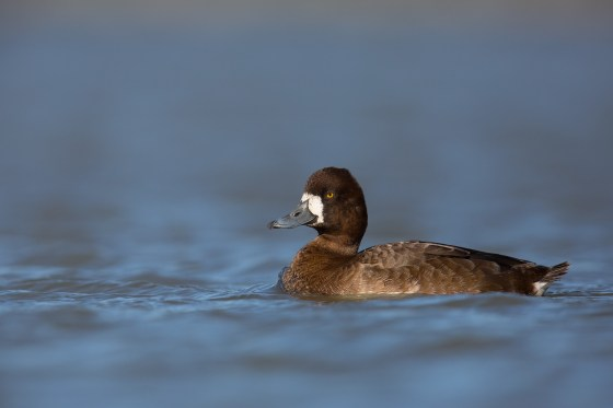 Lesser Scaup | mindre bergand | Aythya affinis