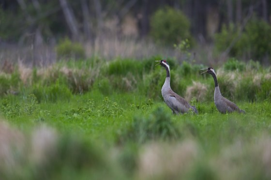 Common Crane | trana | Grus grus