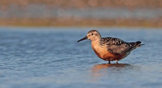 Knot in at least partial summer plumage. A rather attractive bird to photograph if you ask me!