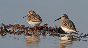 Dunlins do breed in Denmark, but only very sporadically. These are likely migrants from further north.