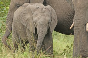 No visit to an African game park is complete without an elephant shot. EOS 5D with 300mmf4. Click to enlarge