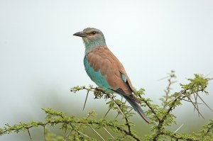 "'Nother European Roller. What ""makes"" this shot is the awesome acacia tree he's perched in. EOS 1D with 500mm f4. Click to enlarge."