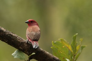 Jamesons Firefinch. Made on a rainy morning with the 500mm plus the 1.4tc. Click to enlarge.