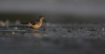 """The wood sandpiper is a subarctic breeder which visits Danish freshwater bogs during migration. It is rather solitary in its habits; there were several birds present at """"my"""" lake on this occasion, but they didn't choose to hang out."""