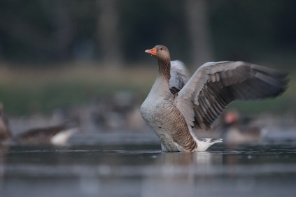 The geese tend to take flight when I show up with my karrimat and my camo net - but they come back real soon.
