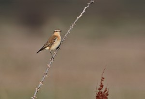 A somewhat unusual perch for a stonechat. The image is heavily cropped...