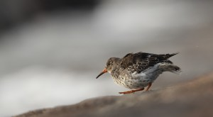 Winter time is purple sandpiper time in Denmark...