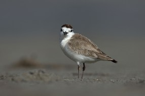 One more white-fronted plover giving the photographer a good checking out.