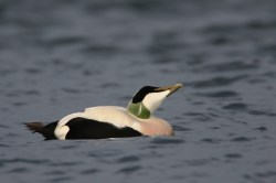 This common eider was practising his courtship skills
