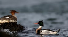 The crested mergansers mate for life, meaning they don't have to spend so much energy on courtship in the spring.