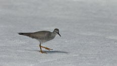 Tattlers come in two varieties, the wandering and the grey-tailed. The two are difficult to distinguish, and to make matters worse they intermate in the Anadyr region, so you may be meeting hybrids. I believe this to be a wandering tattler, but some beg to differ.