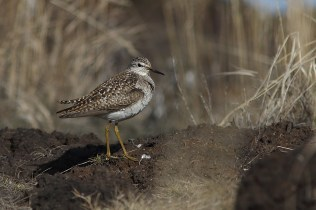 Wood sandpipers call all over the Chukotka in June.